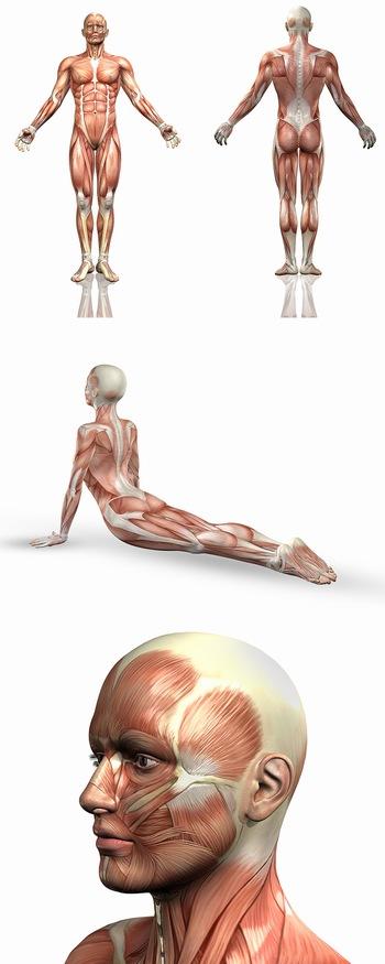 人体医学解剖肌肉分布图ppt背景图片